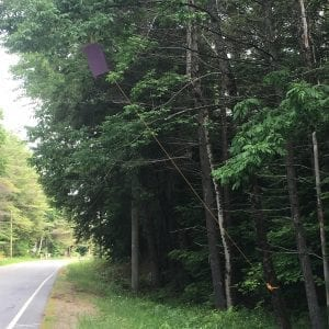 Emerald Ash Borer Trap Hanging in Chestertown in June 2017 (photo courtesy Greg Dower)