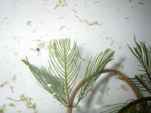 Eurasian watermilfoil leaf