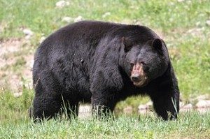 American black bear by Cephas @ Wikimedia Commons
