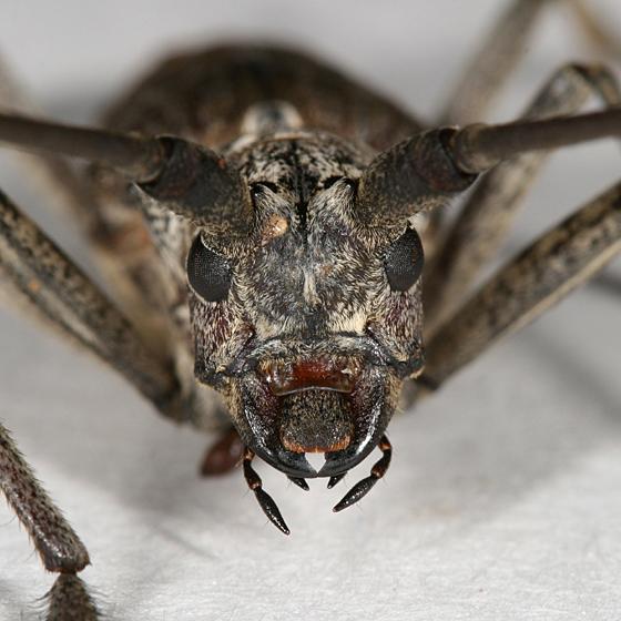 Asian longhorned beetle or pine sawyer