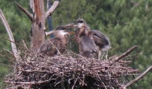 Great Blue Heron babies