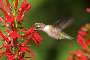 ruby-throated hummingbird and cardinal flower