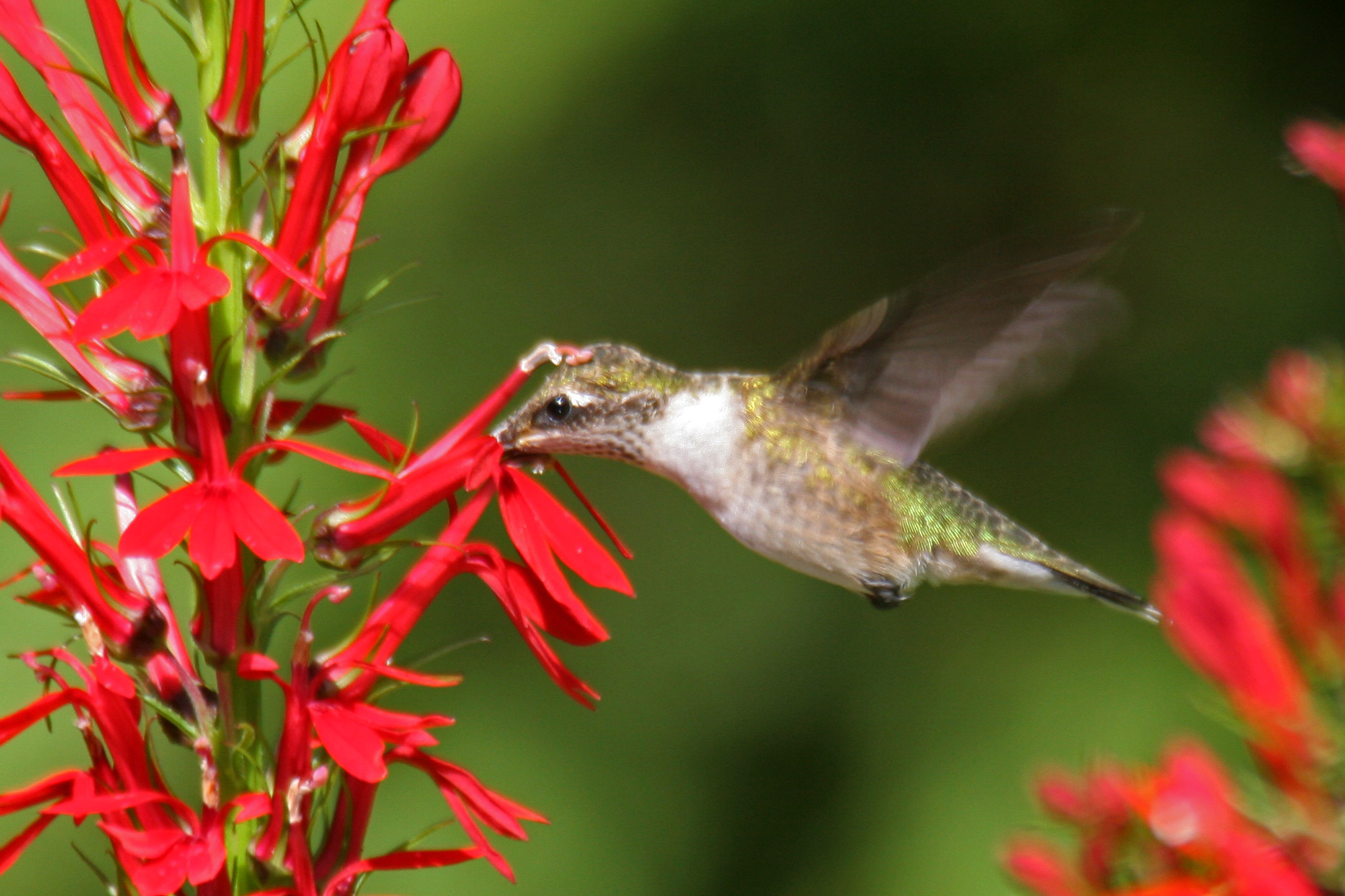 Female Ruby Throated Hummingbird And Cardinal Flower