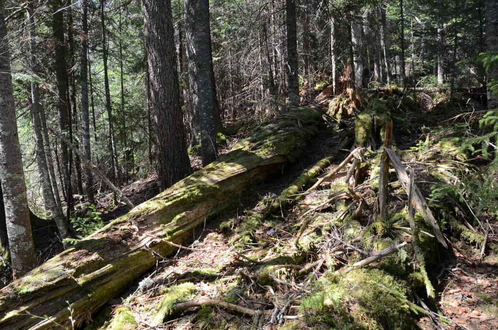 Fallen Spruce and Duff