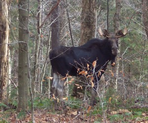 Moose Photo by Adam Pickett, NYSDEC