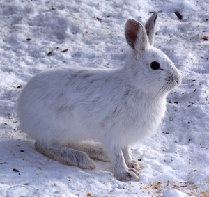 Snowshoe_Hare,_Shirleys_Bay