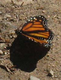 monarch_butterfly_new