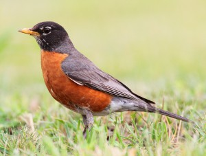 American Robin by Wikimedia user Mdf