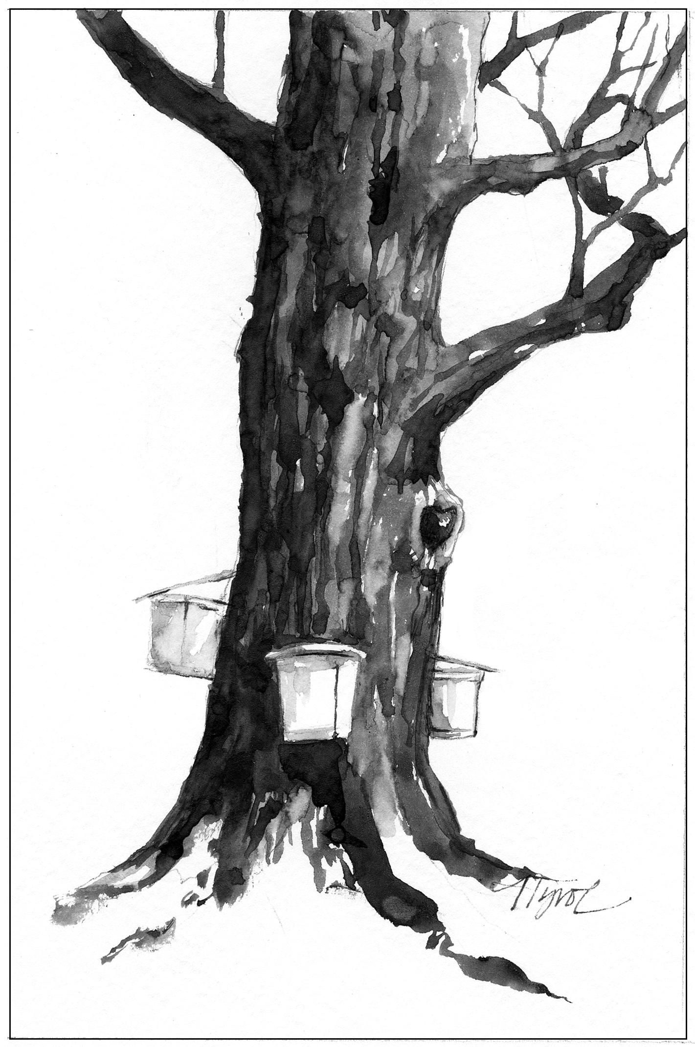 maple tree coloring page - maple sugaring do new tapping strategies hurt trees