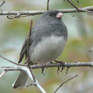 600px-Dark-eyed_Junco-27527