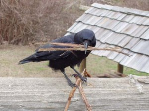 Nesting Crows