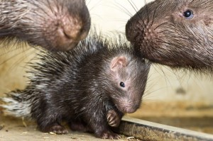 Porcupine Baby Porcupette