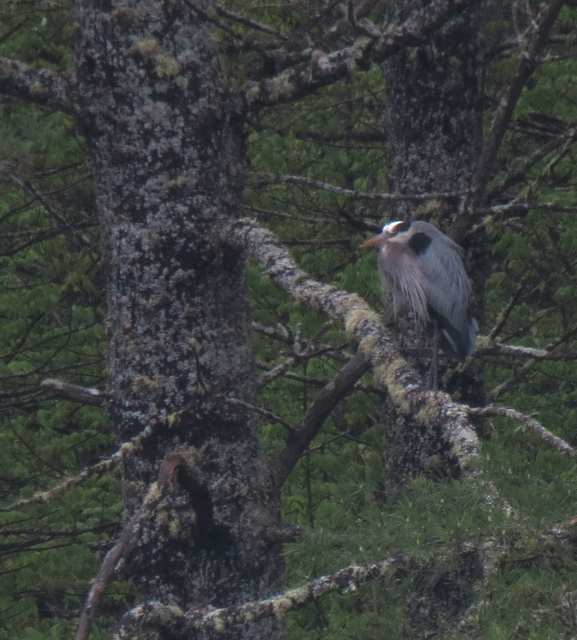 Heron in a white pine tree.