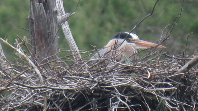 Heron on nest, 2013
