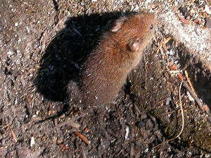 800px-Red-backed_vole
