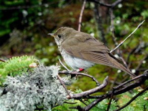 Bicknell's Thrush, Catharus bicknelli, by T. B. Ryder