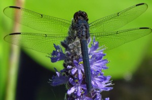 Slaty_Skimmer_on_flower