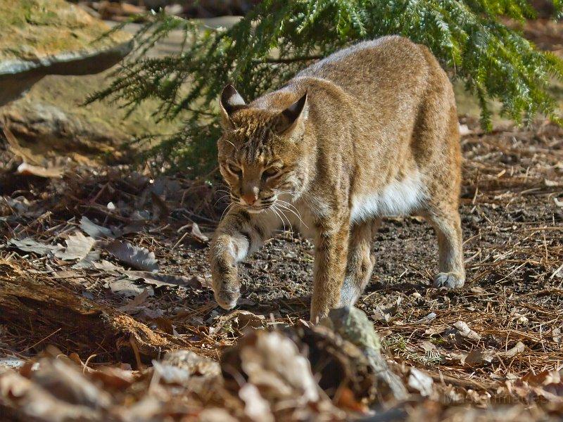 Dec Expands Bobcat Hunting And Trapping Adirondack