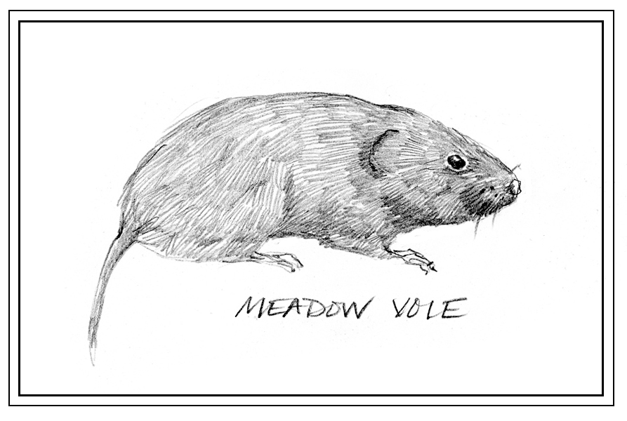 How To Draw A Vole