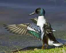 NorthernShoveler_ThomasDunkerton_230px