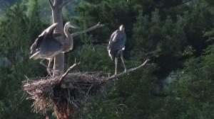 great blue herons, adirondacks