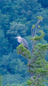 great blue herons, adirondacks