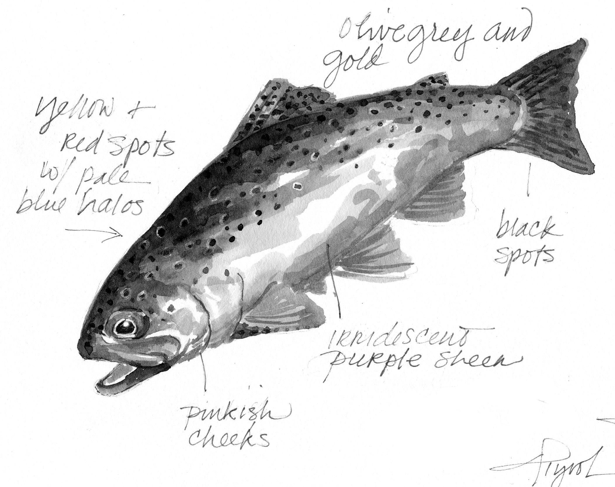 adirondack fishing  how the trout got its spots -