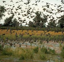 Flock of Birds (DEC Photo)