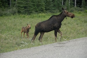 cow moose and calf AH