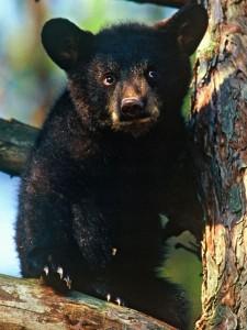 morse-bearcub-080113
