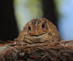 toad crop