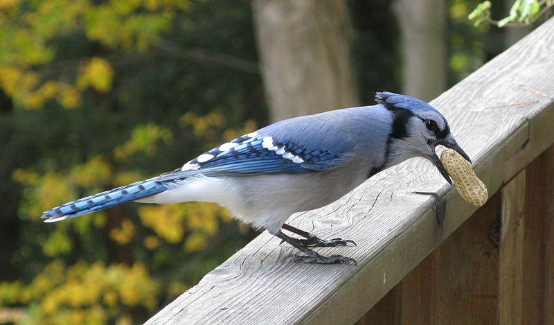 Blue Jay Food Menu