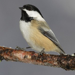 Black Capped Chicadee