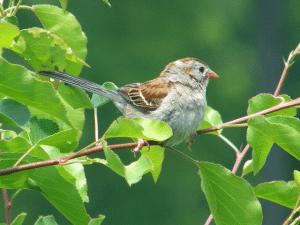 field_sparrow