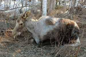 Moose Calf Suffering from Tick Infestation