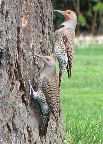 Birds The Departure Of The Northern Flicker The