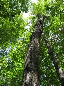 This Sugar Maple on Lot 8 may be 175 years old or more