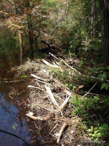 Beaver dam across Sitz Pond outlet