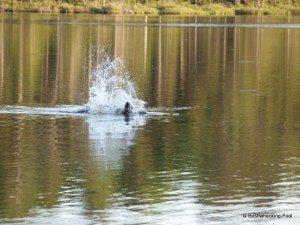 Beaver slapping tail in agitation