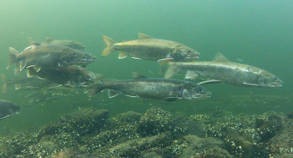 Adirondack fish spawning lake trout the adirondack for How to fish for lake trout