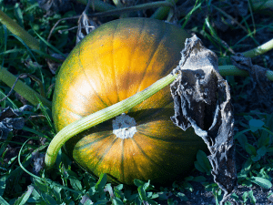 ed_kanze_pumpkin