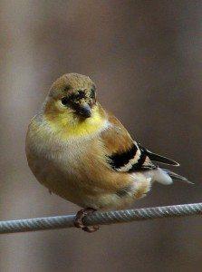447px-American_goldfinch_winter_f