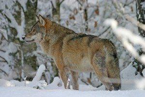 Wolf (Canis lupus) - captive