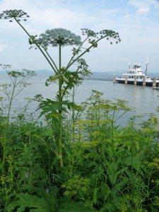 Giant hogweed has white, umbrella-shaped flowers.  Photo courtesy of the Adirondack Park Invasive Plant Program.