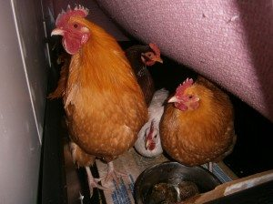 The Chickens Inside