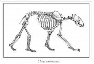 bear_bones