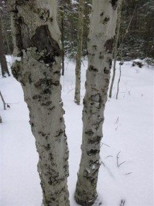 Beech bark disease is caused by the beech scale insect that attacks the bark, making trees susceptible to fungal invasion.