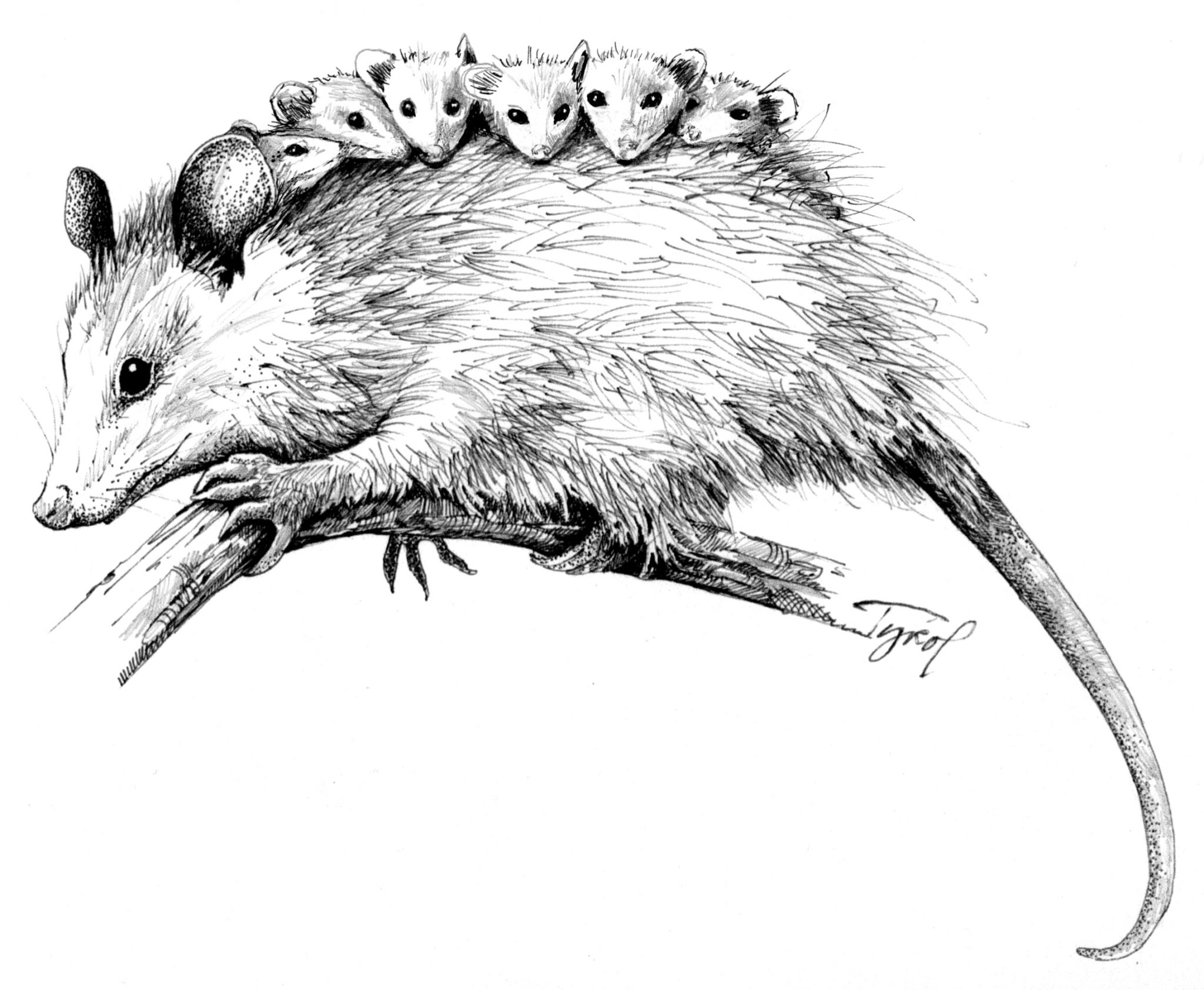 Uncategorized Possum Drawing the opossum live weird die young adirondack almanack on our back porch in a pocket of light from window was what looked to be an oversized rat wearing white face powder as it gobbled