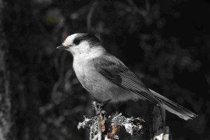 A Gray Jay by Simon Pierre Barrette