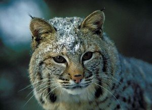 Bobcat025_Portrait of Snowy Face